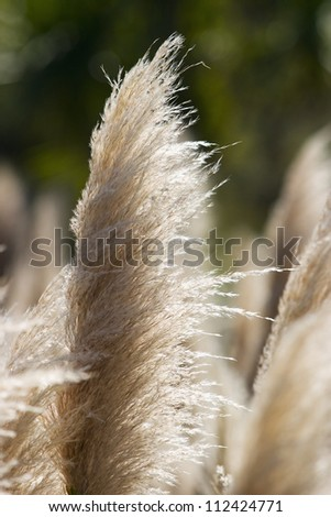 Close-up detail of a feathery white plant.