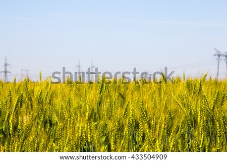Close up detail of ears of ripening wheat growing in an agricultural field on a blue sky sunny day in a nature and food cultivation concept - stock photo
