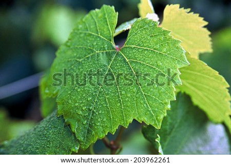 Close up detail of grape vine leaf with morning dew - stock photo