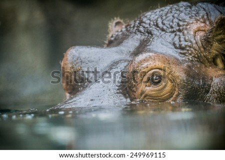 close-up detail of head of huge adult hippopotamus partially submerged in water - stock photo
