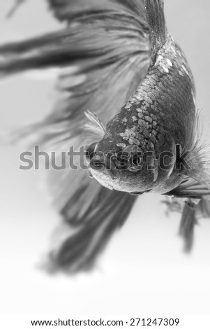 Close-up detail of Siamese fighting fish, half moon type. Black & White, shallow depth of field composition. - stock photo