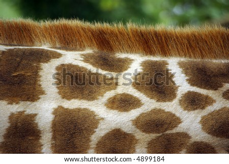 Close-up detail of the pattern of a giraffe's neck. - stock photo