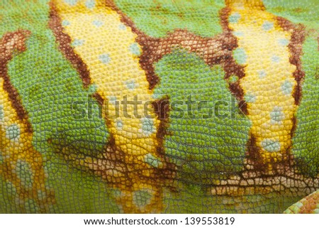 close up detail of the skin of a Veiled Chameleon. - stock photo