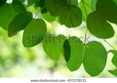 Close-up detail of the uniquely-shaped leaves of a bauhinia tree.