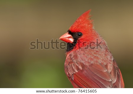 Close-up, detailed portrait of a male Northern Cardinal (Cardinalis cardinalis) - stock photo