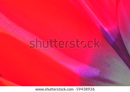 Close up details of deep red and purple tulip petals - stock photo