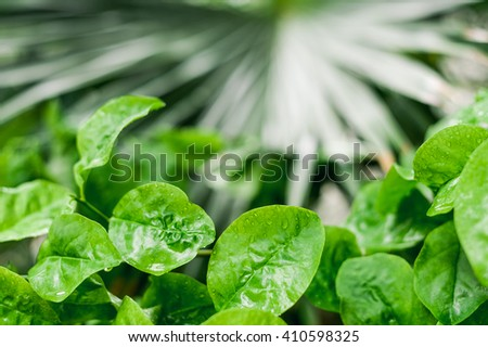 Close up details of wet leaves of subtropical green plant after rain with blurred palm leaf in the background - stock photo