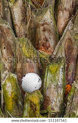 Close up dirty golf ball stuck on palm tree - stock photo