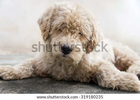 Close Up, Dog Lying On The Floor
