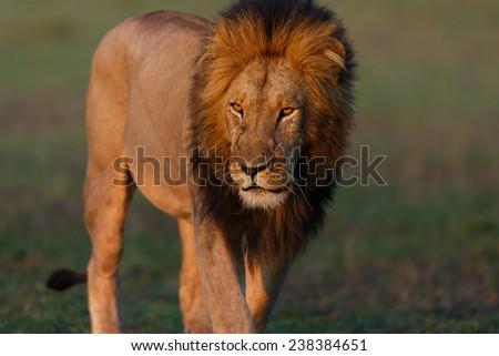 Close up Double Cross Lion Mohican in Masai Mara, Kenya - stock photo