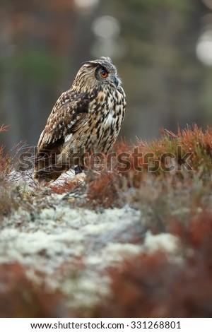 close up eagle owl - stock photo