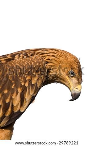 close up eagle portrait isolated on white - stock photo
