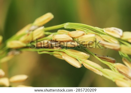 Close up Ear Rice  - stock photo
