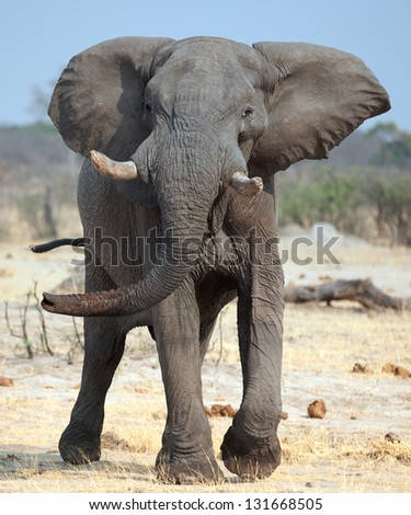 close up elephant ready to charge - stock photo