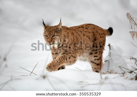 Close up Eurasian Lynx Lynx lynx in winter in the movement on snowy ground.  - stock photo