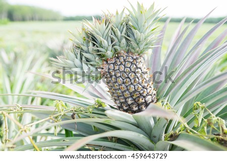 Close up exotic mutation pineapple on pineapple farm.
