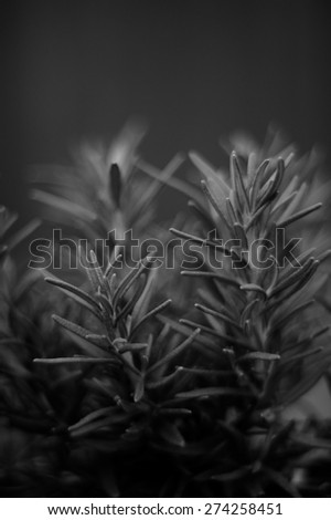 Close up eye level view of rosemary plant in black and white. - stock photo