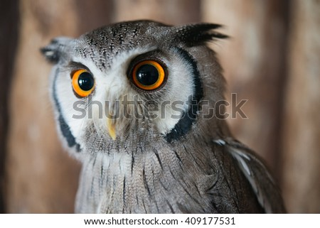 Close up eye of White faced scops owl with wooden background - stock photo