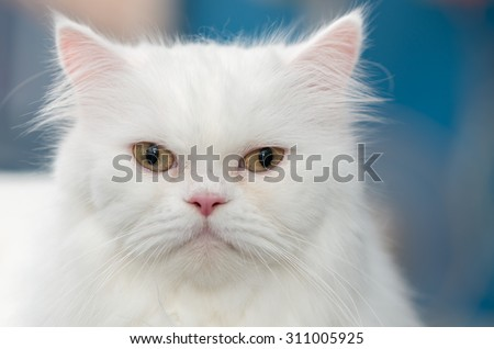 Close up face cute white Persian cat - stock photo