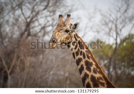 Close up face of a regal giraffe - stock photo