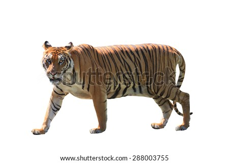close up face of bengal tiger isolated white background - stock photo