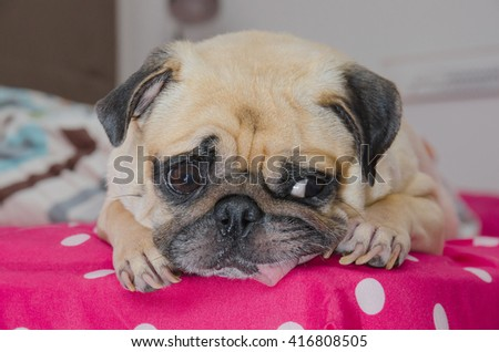Close up face of cute dog pug puppy sleeping with snot of cold and looking to someone