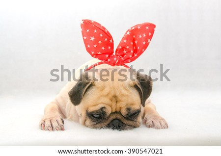 close-up face of cute dog puppy pug with bunny rabbit ear sleep rest on cotton wool in white background. - stock photo
