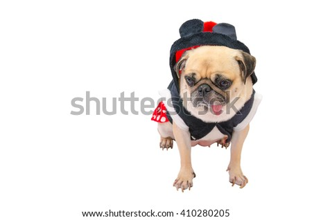 Close up face of cute dog puppy pug with dress sad and sit on isolated white background.