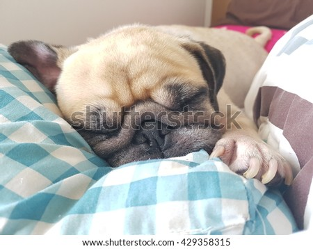 Close up face of cute funny puppy pug dog sleep rest on pillow bed.   - stock photo