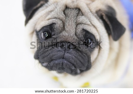 Close up face of Cute pug puppy dog - stock photo
