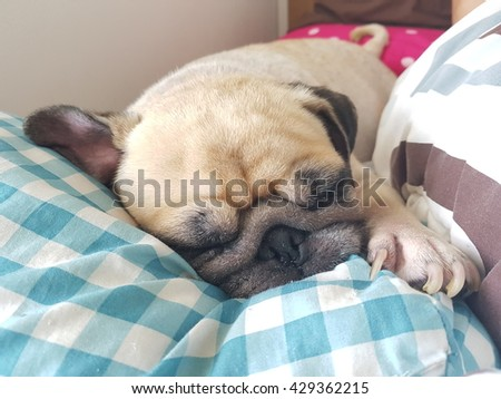 Close up face of cute pug puppy dog asleep rest on soft bed. - stock photo