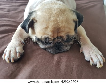 Close up face of cute pug puppy dog asleep rest on soft bed like super hero action. - stock photo