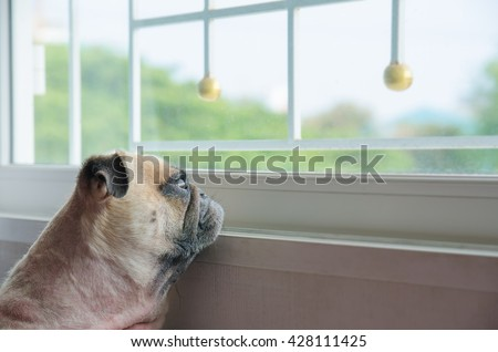 Close-up Face of Cute Pug Puppy Dog Looking Out a Window. Concept of lonely pug dog. Pug alone like forsake. Pug waiting owner - stock photo