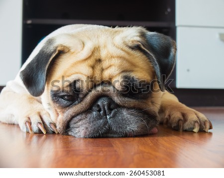 Close-up face of Cute pug puppy dog rest by chin and tongue lay down on laminate floor and look to ground - stock photo