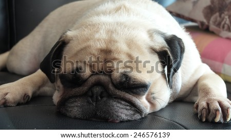 Close up face of Cute pug puppy dog sleeping in sofa - stock photo