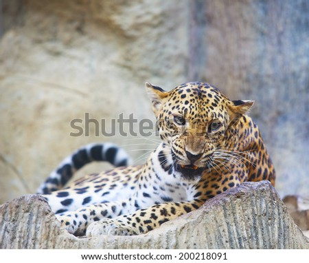 close up face of dangerous angry leopard tiger in wild  - stock photo