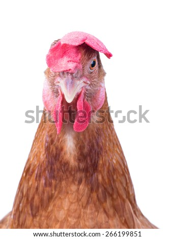 close up face of female brown chicken hen isolated white background use for farm animals and livestock theme - stock photo