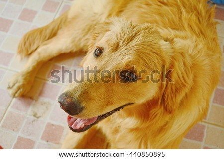 close up face of Golden Retriever dog with a happy expression on face