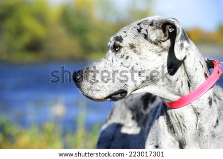 Close up face of Great Dane Harlequin, profil - stock photo