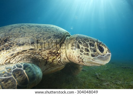 CLOSE-UP FACE OF GREEN SEA TURTLE