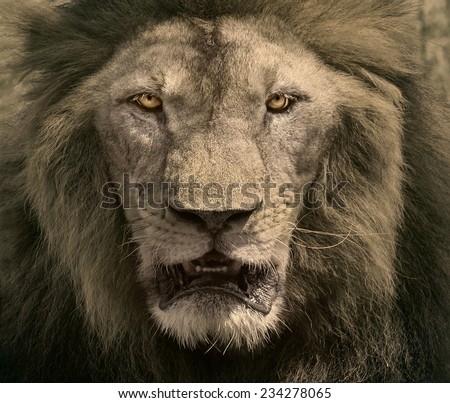 close up face of male lion dangerous african safari animals king of wilderness in swanna field - stock photo