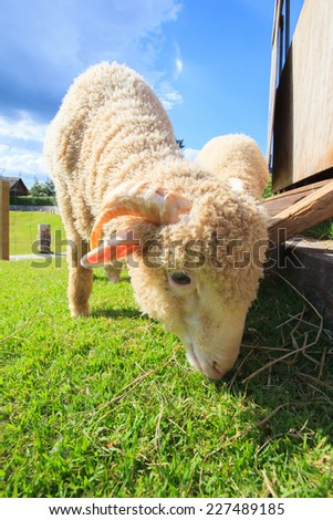 close up face of merino sheep eating green grass in ranch field farm  - stock photo