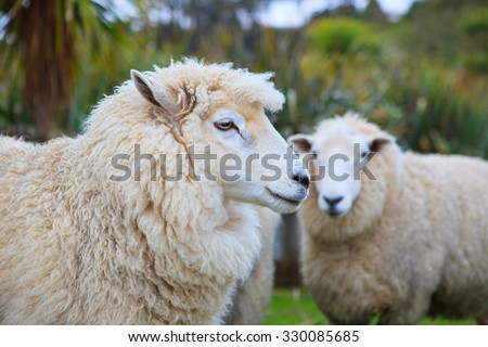close up face of new zealand merino sheep in rural livestock farm - stock photo