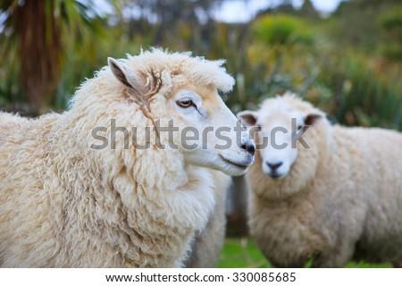 close up face of new zealand merino sheep in rural livestock farm - stock photo