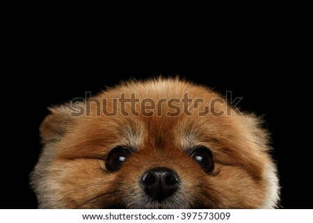 Close up Face of peek Cute Red Pomeranian Spitz Puppy  isolated on Black Background - stock photo