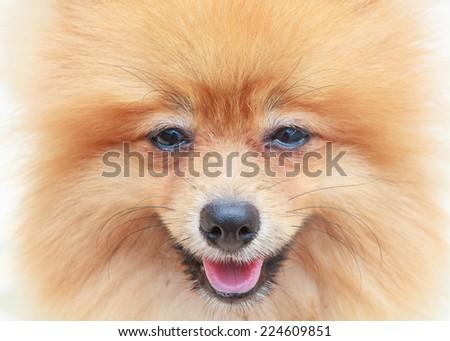 close up face of pomeranian dog  - stock photo