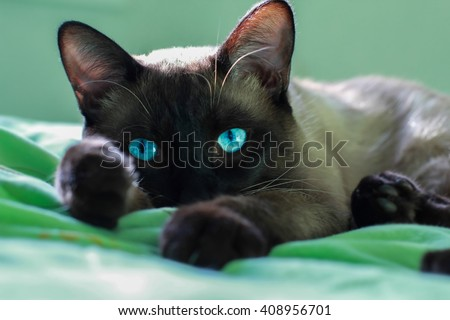 Close up face of siamese adult cat. Siamese cat with beautiful blue eyes. - stock photo