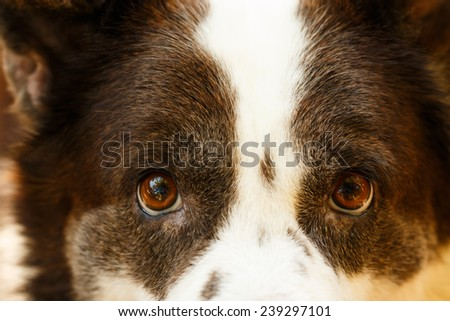 close up  face of Thai bangkaew dog