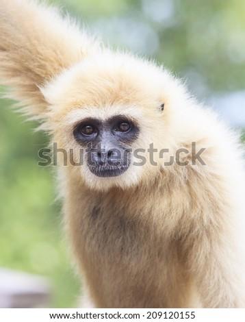 close up face of White Cheeked ,white hand Gibbon or Lar Gibbon  - stock photo