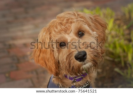 close up face shot of five month old labradoodle looking in the camera with it's head turned. - stock photo